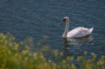 Gallery – Swan